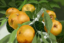 white-sapote-blanco-fr