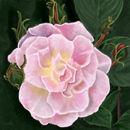 pink-floral