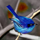blue-fairy-wren-of-aus